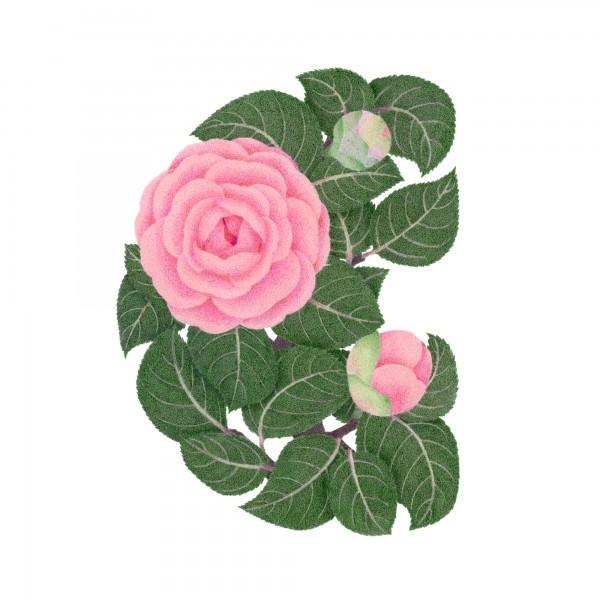 C-camellia