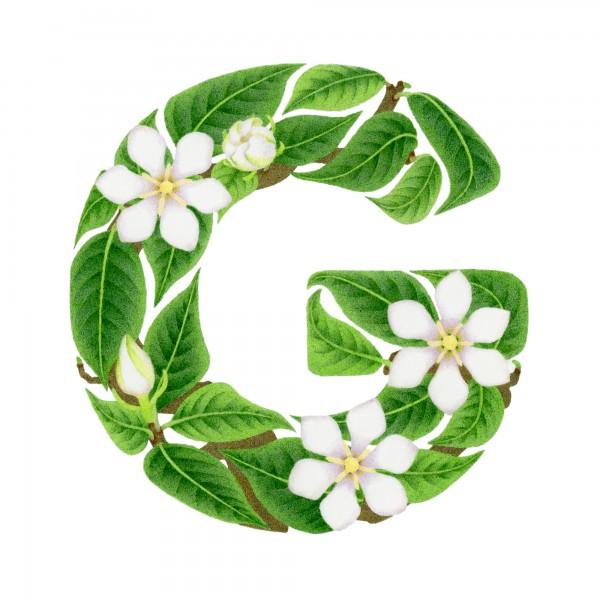 G-Gardenia