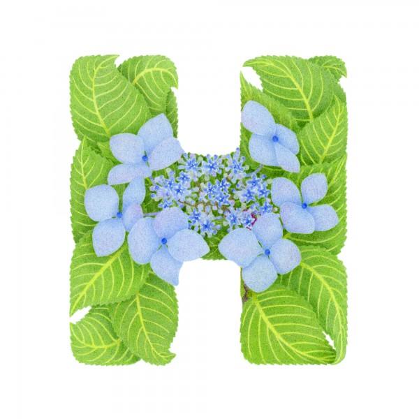 H-Hydrangea
